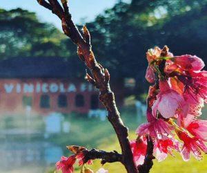 Cerejeira Vinicola