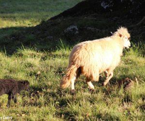 São Lourenço - Ovelhas
